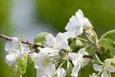 Blossoming branch of an apple-tree in a garden — Stock Photo
