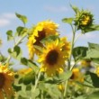 Big field of sunflowers against the blue sky — Stock Video