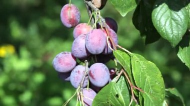 Ripe violet plums on a branch — Stock Video