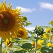 Big field of sunflowers against the blue sky - Stock Photo