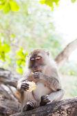 野生猴子坐对叶子的树上,是玉米 — 图库照片