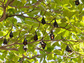 Many flying foxes hang on a tree, Thailand — Stock Photo