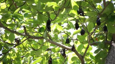 Relaxed flying foxes sleeping on the tree during day — Stock Video
