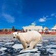 Spring in Moscow. The polar bear on an ice floe floats by the Kremlin — Stock Photo