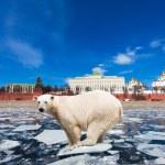 Spring in Moscow. The polar bear on an ice floe floats by the Kremlin — Stock Photo