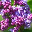 Branch with spring lilac flowers — Stock Video