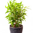 Stock Photo: Benjamin's ficus