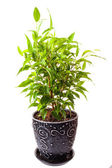 Benjamin's ficus — Stock Photo