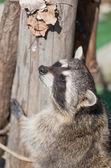 Klättrare racoon — Stockfoto