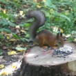 Red squirrel on hemp eats sunflower seeds — Stock Video #24380601