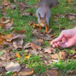 Man offers a nut to a squirrel, she takes and escapes — Stock Video