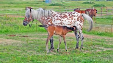 Spotty mare feeds the foal on a pasture — Stock Video