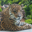 Jaguar has a rest against falls - Stock Photo