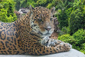 Jaguar has a rest against falls — Stock Photo