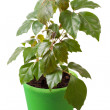 Stock Photo: Houseplant cissus rhombifoliin green pot, is isolated