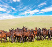 Herd of horses on a summer green pasture against the blue sky — Stock Photo