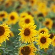 Stock Photo: Field with blossoming sunflowers