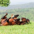 Stock Photo: Bay horse lies on a green grass