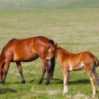 Horse with a foal are grazed on a mountain pasture — Stok fotoğraf