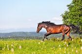 Arab racer runs on a green summer meadow — Stock Photo