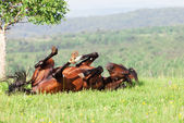 Bay horse lies on a green grass — Стоковое фото
