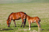 Horse with a foal are grazed on a mountain pasture — Stock Photo