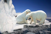 Two white polar bears on ice floes — Stock Photo