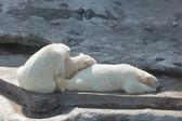 Three sleeping polar bears — Stock Photo