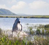 灰色阿拉伯马跑上水 — 图库照片