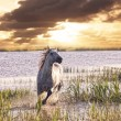 Gray horse runs on water against a sunset — Stock Photo #27208569