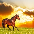Bay horse skips on a meadow against a sunset — Stock Photo