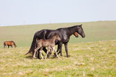 Horse with a foal go on a mountain pasture — Stock Photo