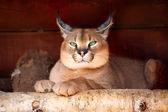 Steppe lynx (Caracal caracal) — Stock Photo