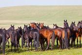 Manada de cavalos em uma pastagem de verão. elbrus, cáucaso, carachai-circássia — Foto Stock