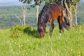 Bay horse is walked in the electroshepherd — Stock Photo