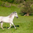 Gray Arab horse gallops on a green meadow — Stockfoto