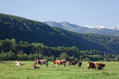 Herd of cows grazing on a mountain pasture — Stock Photo