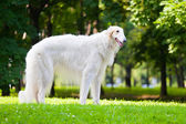 Beautiful dog breed Russian Borzoi standing on the grass lit by the sun — Stock Photo