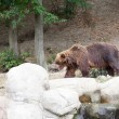 Big Kamchatka brown bear among stones in the wood — Stock Photo