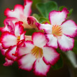 Blossoming adenium close up — Stock Photo
