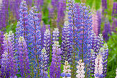 Blossoming lupines close up — Stock Photo