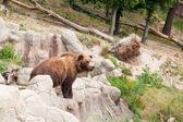 Wielki niedźwiedź brunatny kamczacki wśród kamieni w drewnie — Zdjęcie stockowe