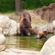 Two young brown Kamchatka bears — Stock Photo