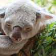 Koala a bear — Stock Photo