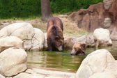 Dva mladí hnědý kamčatský medvědi — Stock fotografie