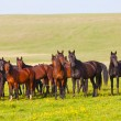 Herd of horses on a summer pasture — Stock Photo