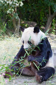 Huge panda a bear is bamboo escapes — Stock Photo
