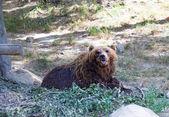 Velký medvěd kamčatský mezi kameny v lese — Stock fotografie