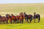 табун лошадей на летние пастбища — Стоковое фото