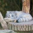 Manul sleeps on a stub — Stock Photo